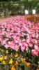 Парад тюльпанов Никитский  ботанический сад_11