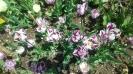 Парад тюльпанов Никитский  ботанический сад_12