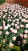 Парад тюльпанов Никитский  ботанический сад_26
