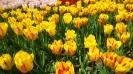 Парад тюльпанов Никитский  ботанический сад_27