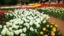 Парад тюльпанов Никитский  ботанический сад_28