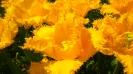 Парад тюльпанов Никитский  ботанический сад_30