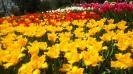 Парад тюльпанов Никитский  ботанический сад_31