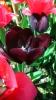 Парад тюльпанов Никитский  ботанический сад_40