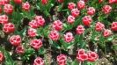 Парад тюльпанов Никитский  ботанический сад_45